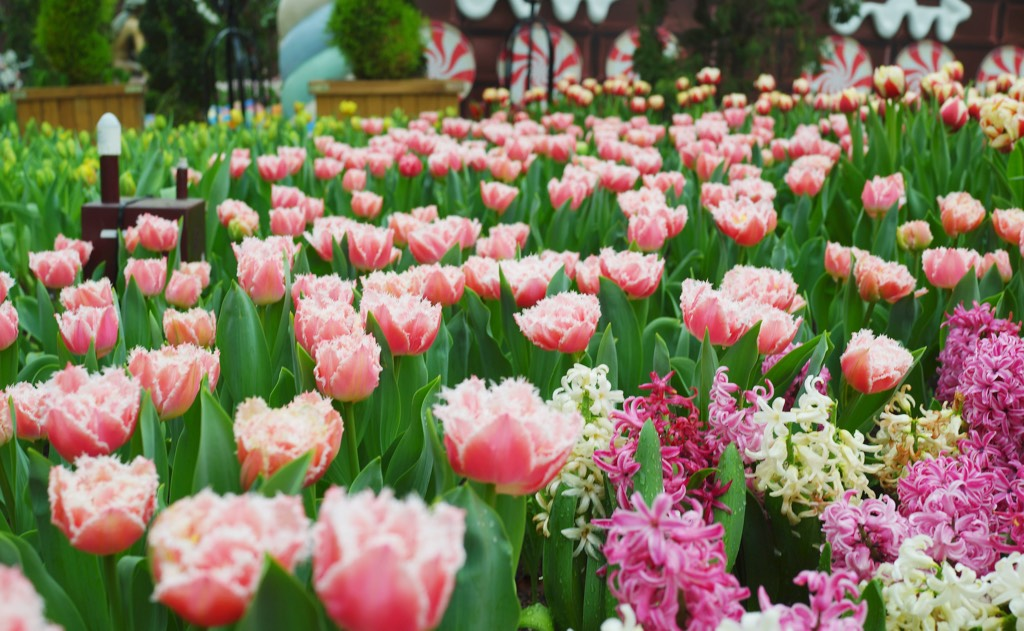 Tulipmania Floral Display 2015